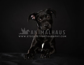 Young black puppy on black background in studio