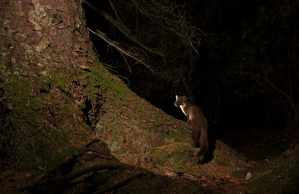 I wanted to create a deep forest feel to this camera trap setup, with simple lighting - I think the pose of the Pine Marten a...