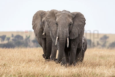 Small Breeding Herd of Elephants on the Serengeti