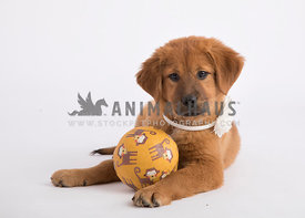 Puppy plays with monkey ball in studio on white