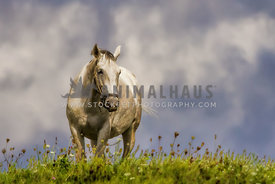 Lipizzaner horse in golden flower filled meadow with blue sky.