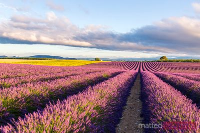 Lavender field at sunrise, Valensole, Provence