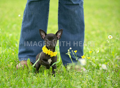 Black Chihuahua female puppy outside in grass