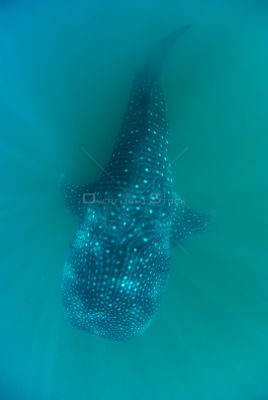 Underwater dorsal view of Whale shark (Rhincodon typus) underwater, La Paz Bay, Sea of Cortez (Gulf of California), Baja Cali...