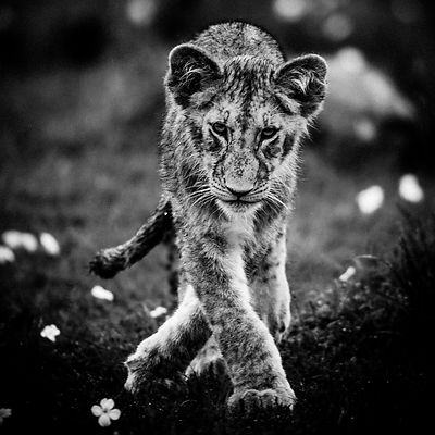 4702-Lion_cub_in_the_flowers_Kenya_2006_Laurent_Baheux