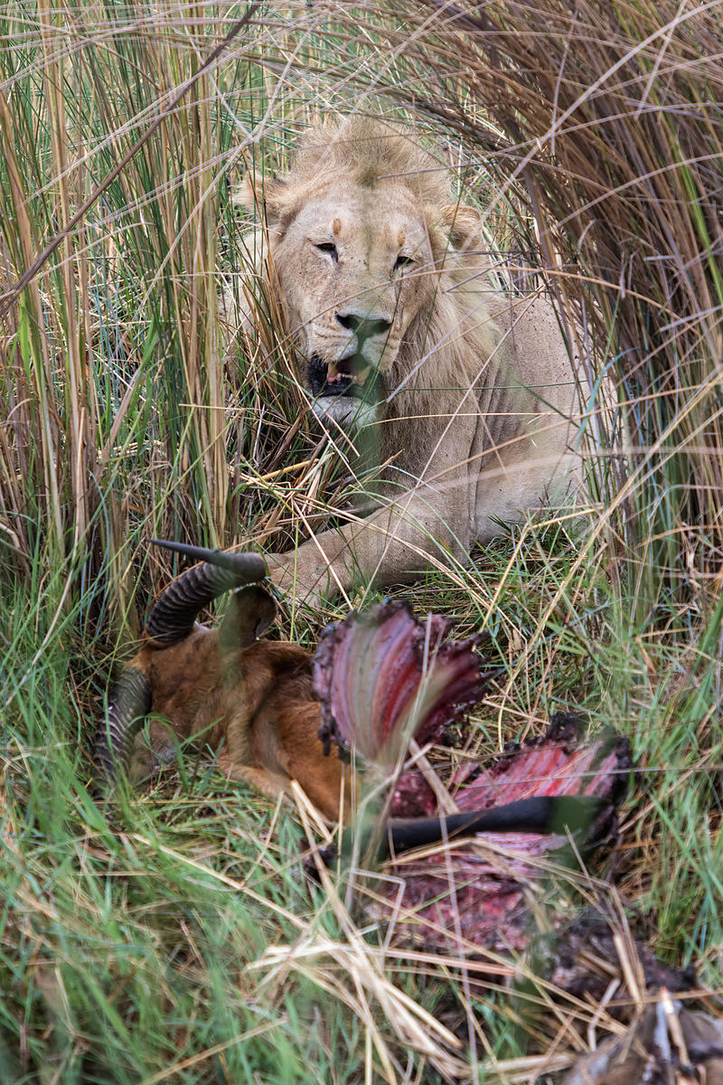 Male Lion at Red Lechwe Carcass in Long Grasses