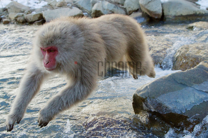 Japanese macaque (Macaca fuscata) jumping over a stream