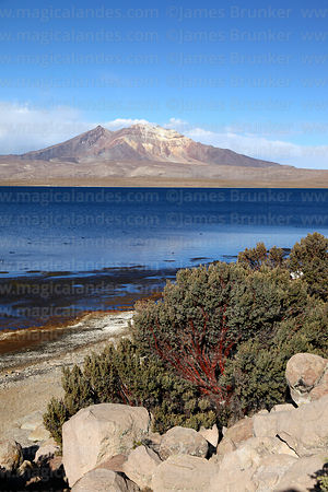 Polylepis tarapacana or queñua bushes, Lake Chungará and Cerro Quisi Quisini, Lauca National Park, Region XV, Chile