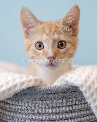 Curious and alert orange kitten in a basket with white blanket