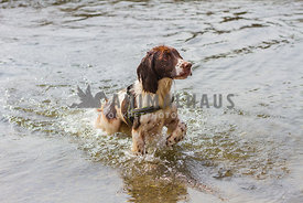 springer spaniel dog coming out of water