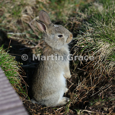 Young European Rabbit (Oryctolagus cuniculus), Hermaness National Nature Reserve, Unst, Shetland