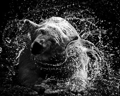 5189-Polar_bear_Laurent_Baheux