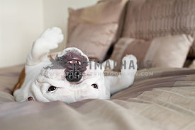 bulldog on bed in bedroom on rolled over on back