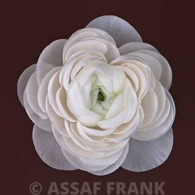 Ranunculus flower close-up