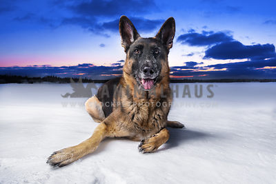German Shepherd photos