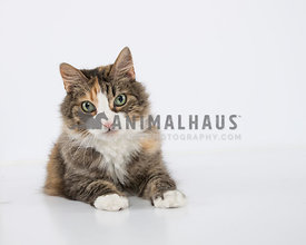 Multi colored tabby with white feet on white background in studio