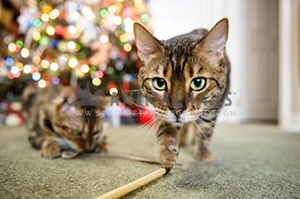 Two Begal cats playing in front of a Christmas tree