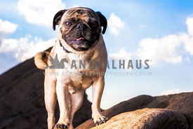 a pug dog under a blue sky with white clouds