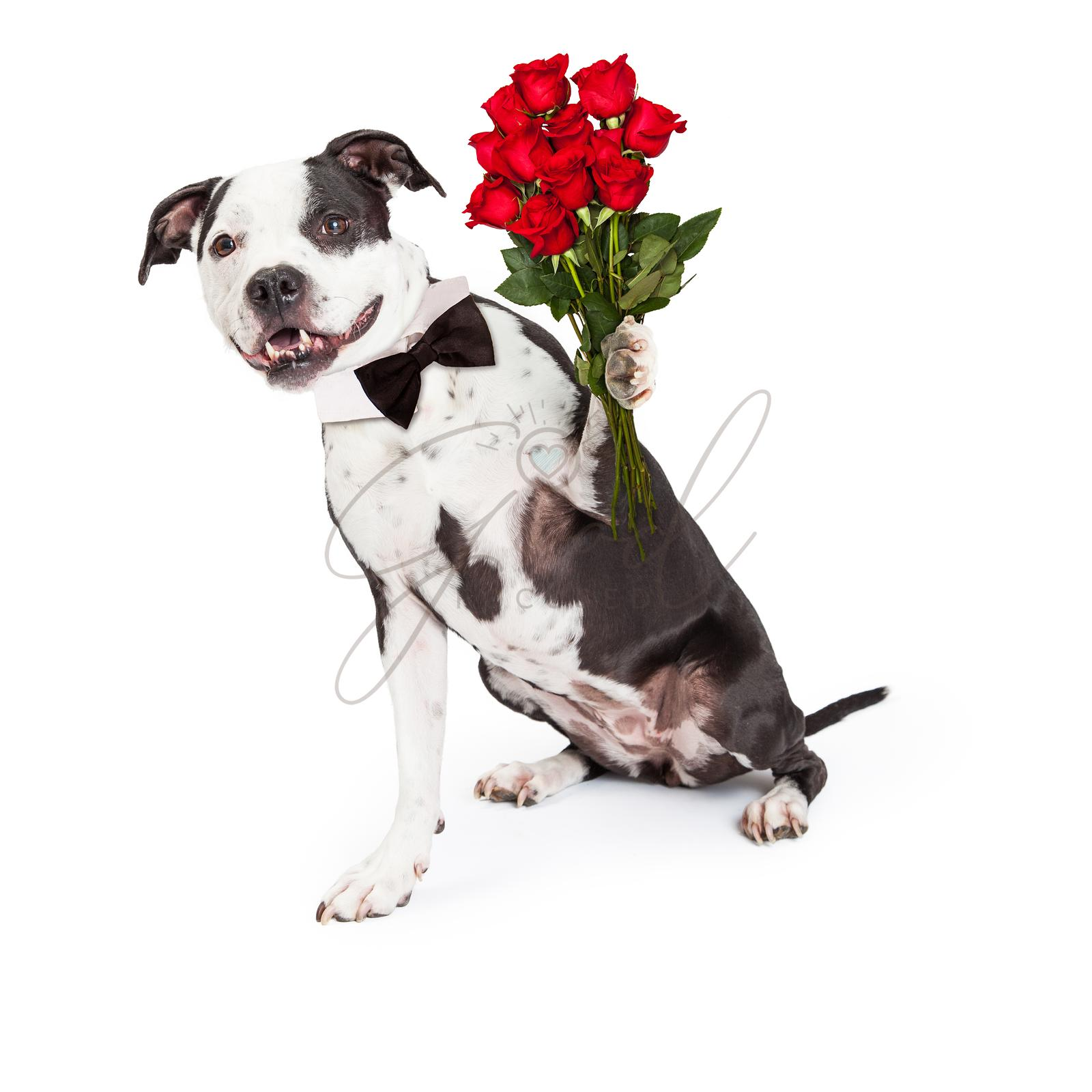 Pit Bull Dog With Red Roses