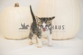 hissing kitten on white background
