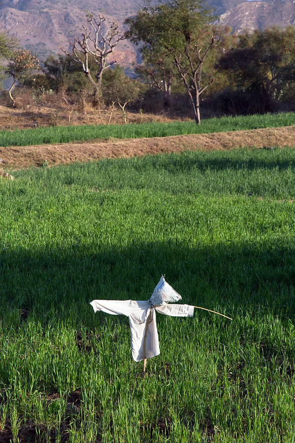 Low-tech scarecrow in a chapati wheat field, Kharekhari village, Rajasthan, India