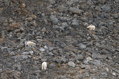 Aerial view of three adult Polar bears (Ursus maritimus) traveling along a rocky coast on Svalbard in summer, Norway