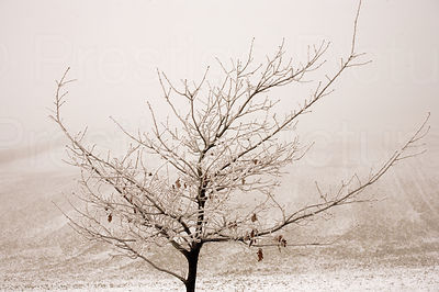Sapling in the Snow