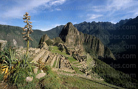 Bromeliad in city of Machu Picchu, Huayna Picchu peak in background, Peru