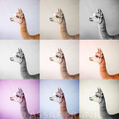 Collage of Alpacas in multicolour