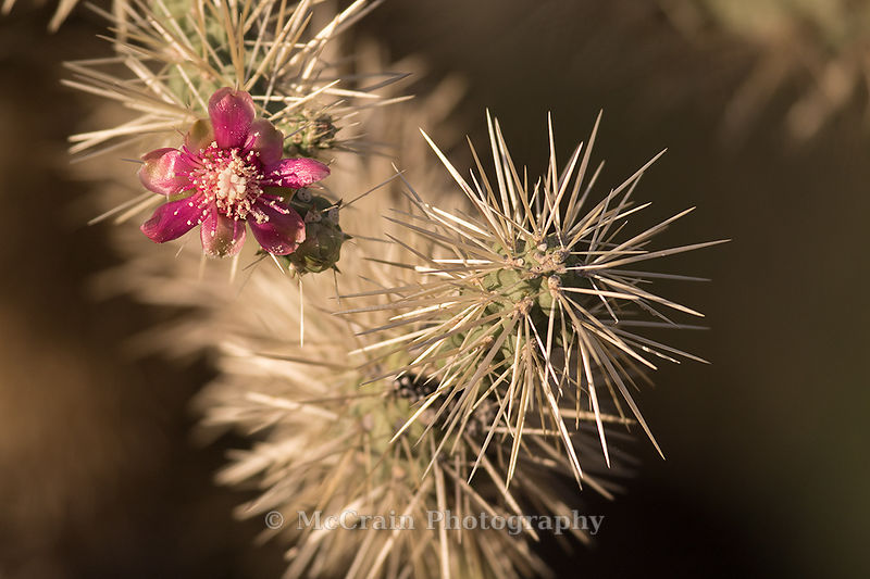 There were even a few cholla cactus still blooming. (And yes, those spines are as bad as they look.)