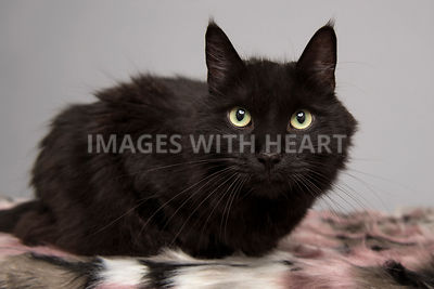 Close up of black cat looking at camera