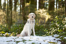 Young labradoodle dog sitting in snow in the forest