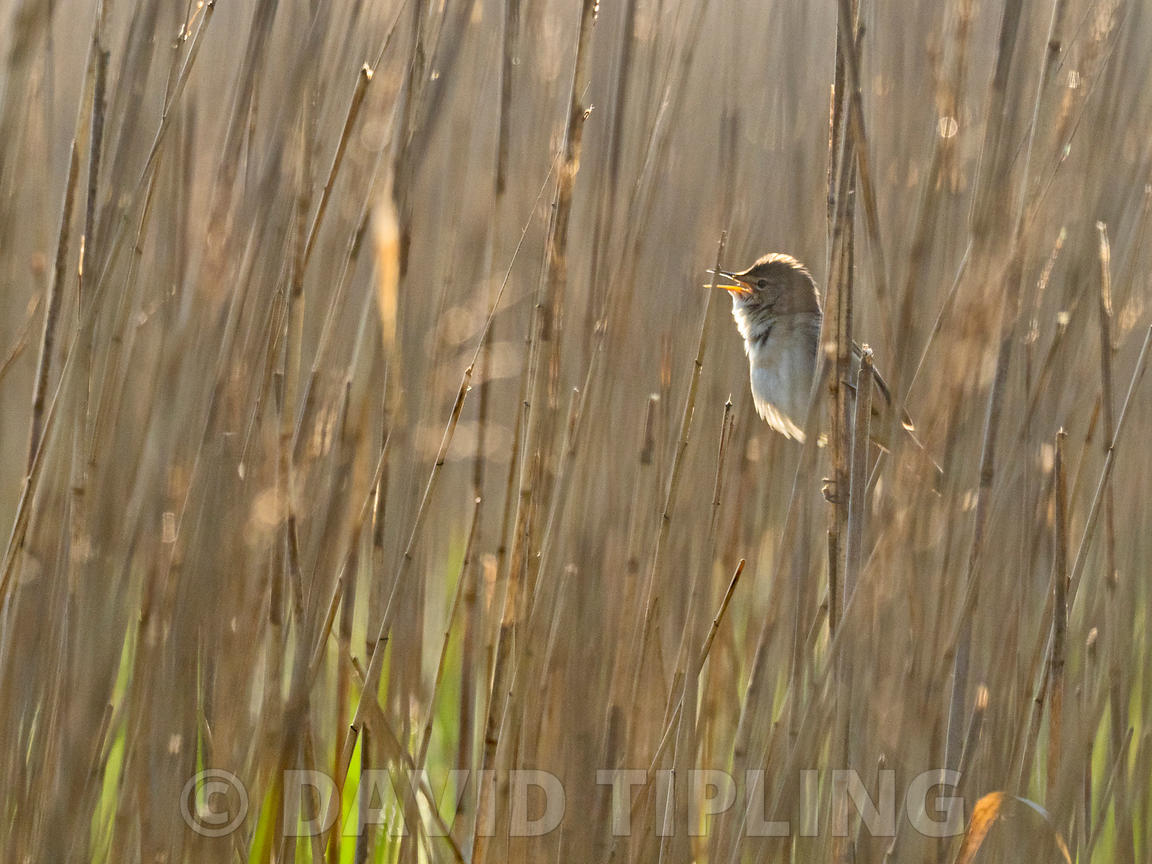 Reed Warbler Acrocephalus scirpaceus in song in reedbed North Norfolk spring