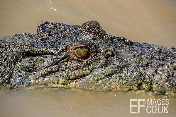 Salt Water Crocodile Head In The Water, Side view, With Eye