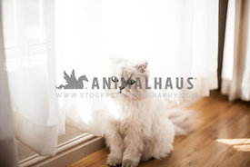white fluffy cat sitting by a window with soft light and wooden floors.
