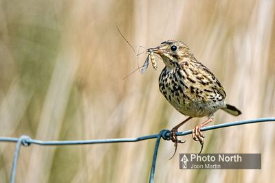PIPIT 00C - Meadow pipit