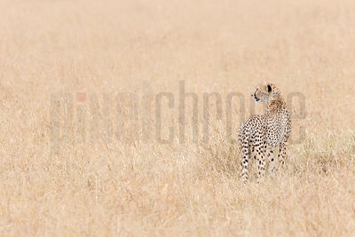 Portrait of a Cheetah in Long Grasses