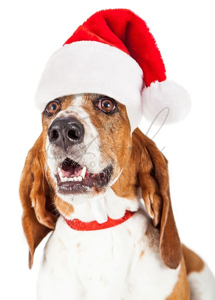 Santa Claus Basset Hound Dog Close-up