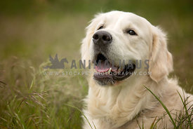 headshot of smiling golden retriever dog close up happy face grass background