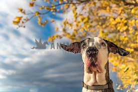 Great Dane with ears flying in the wind