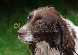 Game shooting images - a gundog