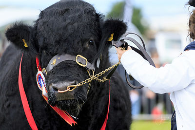CATTLE, CARDIGAN SHOW