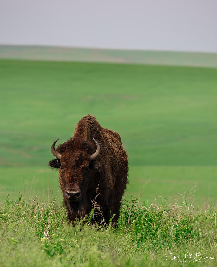 Bison at Tallgrass Prairie