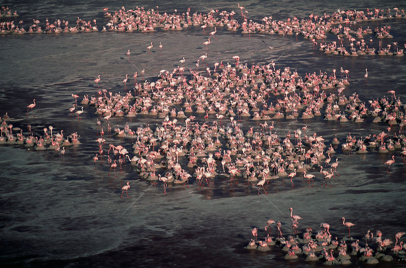 Aerial view of nesting Lesser Flamingos {Phoeniconaias minor} Lake Natron, Tanzania.