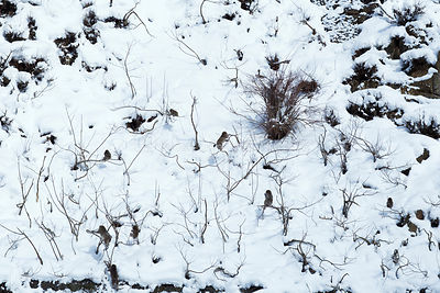 Japanese Macaque (Macaca fuscata) juveniles playing in trees in snowy landscape. Jigokudani Yaen-Koen National Park, Japan, F...