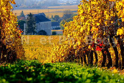 FRANCE, BOURGUEIL, VIGNOBLE//France, Bourgueil, Vineyard