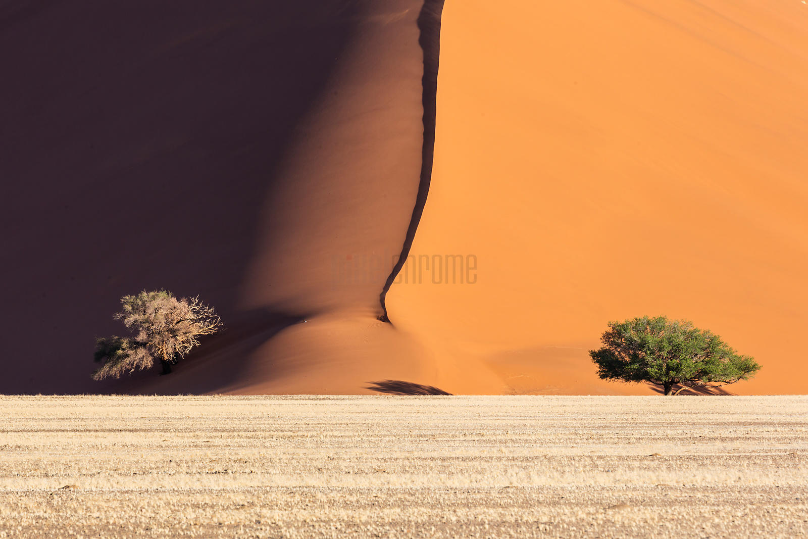 Camelthorn Trees against Namib Dunes