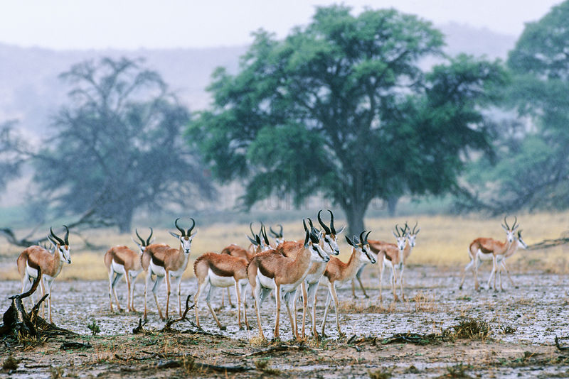 Springbok Standing in a Rain Shower