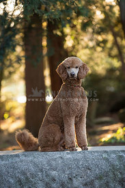 Red Standard Poodle on stone