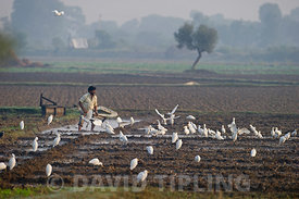 Cattle Egret (Bubulcus ibis) feeding around people working in fields Uttar Pradesh Northern India